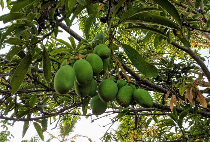 jackfruit vegan substitute