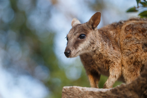 Allied Rock Wallaby (Petrogale assimilis) Magnetic Island, Queensland, Australia
