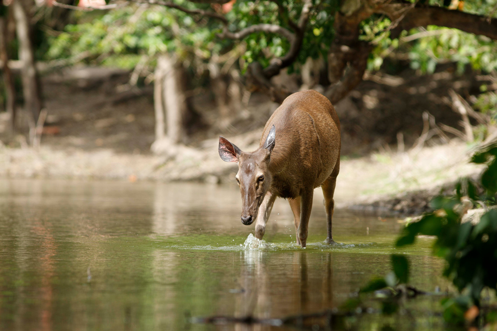 Sambar Deer: This species has been listed as vulnerable on the IUCN red list since 2008, and is particularly threatened within Cambodia, and so release programs such as those conducted by Wildlife Alliance are of particular importance. A number of the animals have been released and actually thrive in the forest that surrounds Phnom Tamao Wildlife Rescue Centre south of Phnom Penh, with this female nonchalantly wading through one of the lakes as guests watched on close by.