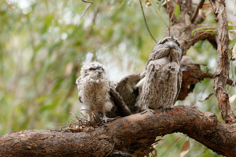 Tawny Frogmouth (Podargus strigoides) adult with chick Brisbane, Queensland, Australia