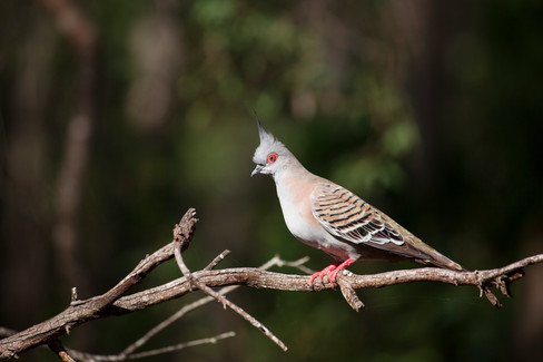 Crested  Pigeon (Ocyphaps lophotes)  Boondall Wetlands, Queensland, Australia