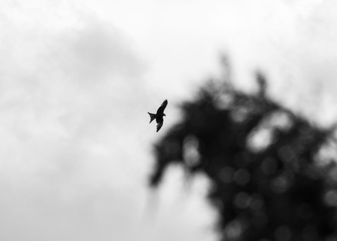 Red Kite Chalfont, England