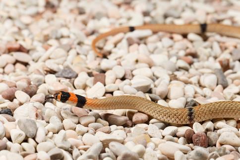 Ringed Brown Snake (Pseudonaja modesta)