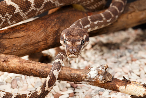 Rough-Scaled Python (Morelia carinata) Captive female Brisbane, Queensland, Australia