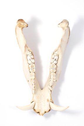 Jaw bone of boar retried from Western New South Wales, Australia