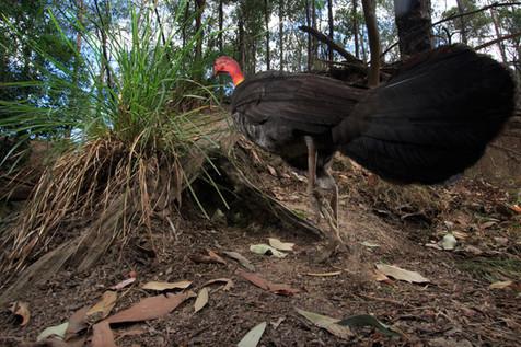 Brush Turkey Brisbane, Queensland, Australia