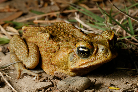Cane Toad (Rhinella marinus) missing right front limb Brisbane, Queensland, Australia
