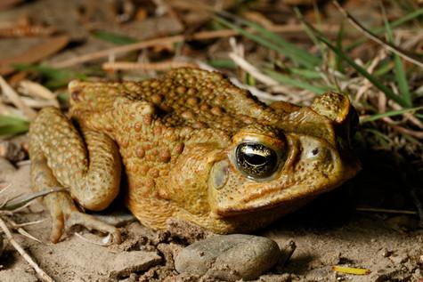 Cane Toad (Rhinella marinus) missing right front limb Brisbane, Queensland, Australia