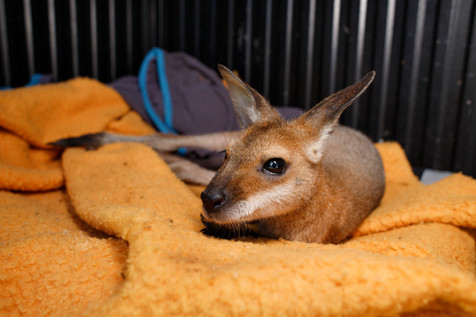 Juvenile Red-Necked Wallaby (Macropus rufogriseus) in care with Moreton Bay Koala Rescue member Mike Fowler in Brisbane, Queensland 2019.