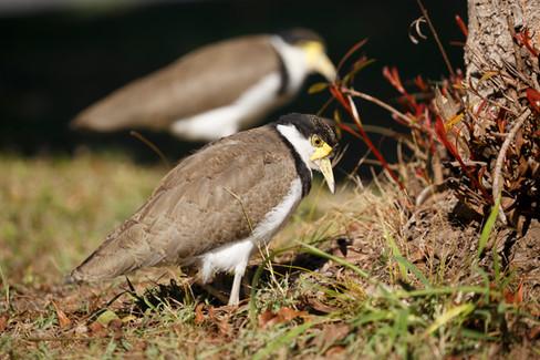 Masked Lapwing juvenile with parent Brisbane, Queensland, Australia