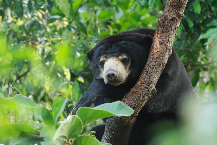 Sun Bear high in the trees at the Wildlife Alliance Wildlife Release Station in the Cardamom Mountains of Koh Kong Province, Cambodia