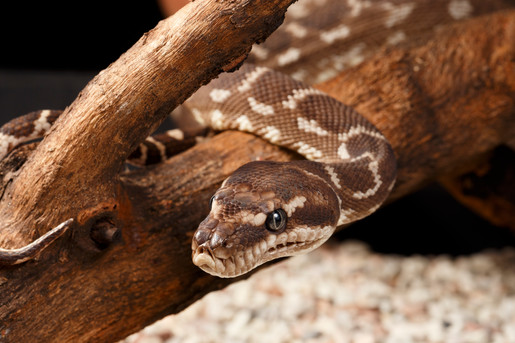 Female Rough-Scaled Python (Morelia carinata)