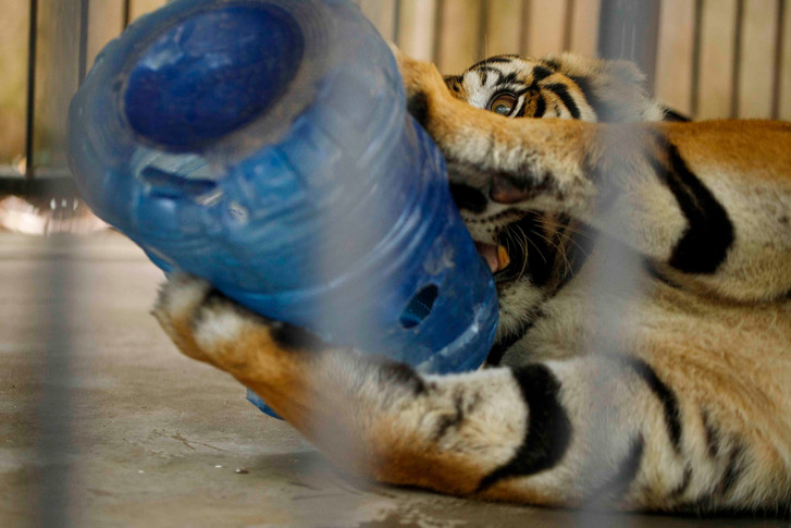Jerrie the female Tiger at play in the tiger compound within Phnom Tamao Wildlife Rescue Centre