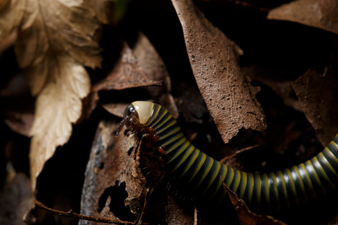 Millipede with attached parasitic mites  Mt Glorious section of D'Aguilar National Park, Queensland, Australia