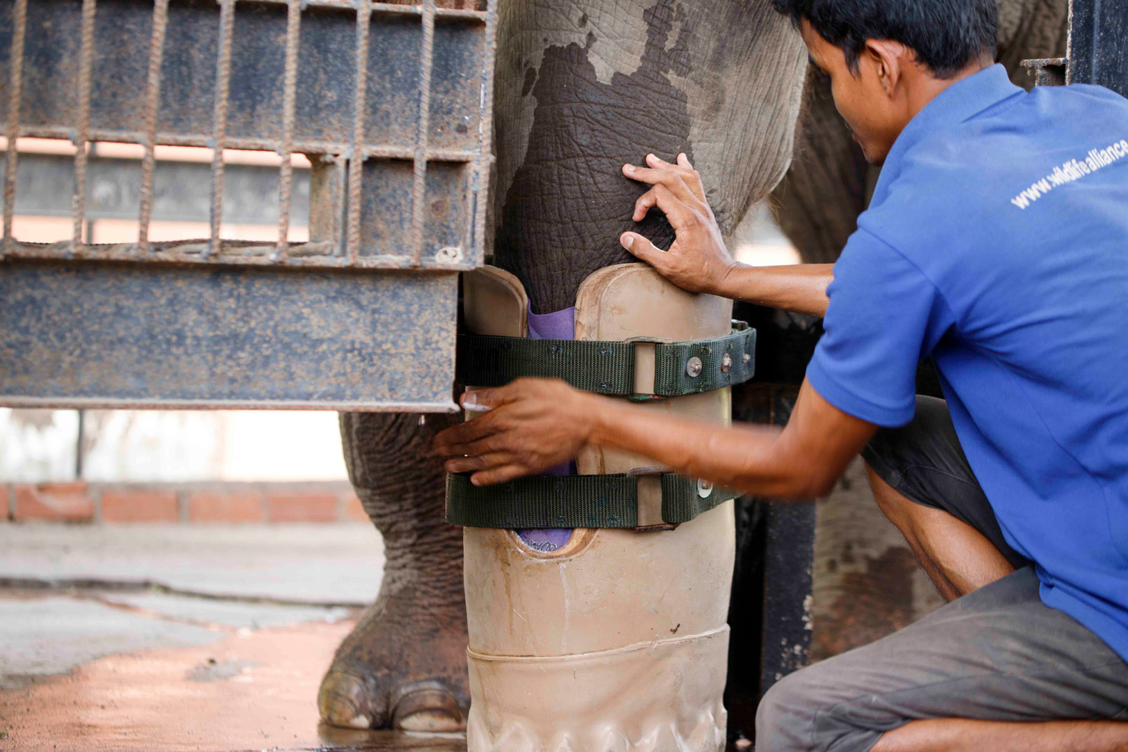 Wildlife Alliance keeper Houn Sairim replaces Asian Elephant Chhouk's prosthesis during his daily training within the elephant compound at Phnom Tamao Wildlife Rescue Centre. As an infant Chhouk was found with a severe wound to his foot, thought to be the work of an illegal snare.