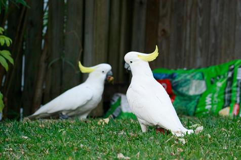 Sulphur-Crested Cockatoos Brisbane, Queensland, Australia