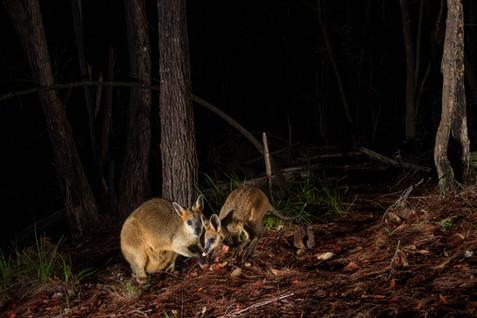 0031swamp wallaby project camera trap si