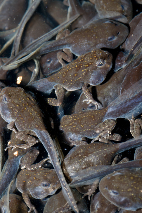 Cane Toad (Rhinella marinus) tapdoles and toadlets