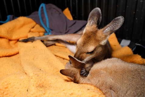 Heylee and Tanilla are Red Necked Wallabies in care with wildlife rescuer Mike Fowler, having been kept under guard since they were pinkies (minute fur-less joeys that spend all of the time in their mother's pouch). Wallabies are unfortunately often brought into care after their mothers are struck by cars or killed by dogs. Now around seven months old, they remain playful and curious, always turning their ears to listen for danger even though they are contained well away from harm. The male and female pair while found separately have bonded well and will likely be released together in the coming months. Unlike Kangaroos, most Wallaby sub species are much more solitary, so time will tell if they choose to remain together after release.