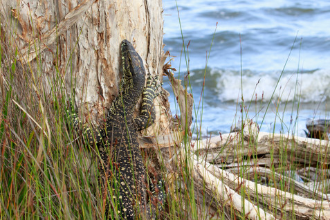 Lace Monitor (Varanus varius) basking near the shore of Lake Cootharaba, Queensland, Australia