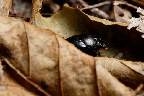 Dung Beetle  Mt Glorious, Queensland, Australia
