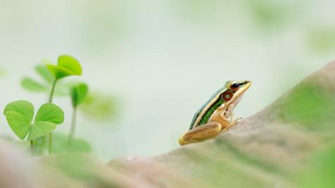 Green Paddy Frog Angkor, Cambodia