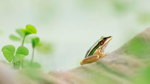 Green Paddy Frog (Hylarana erythraea) Angkor, Cambodia