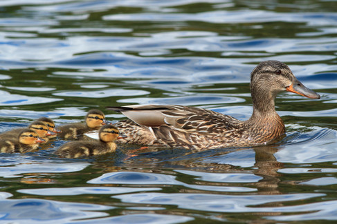 Mallard Duck female with chicks Lake District National Park, England