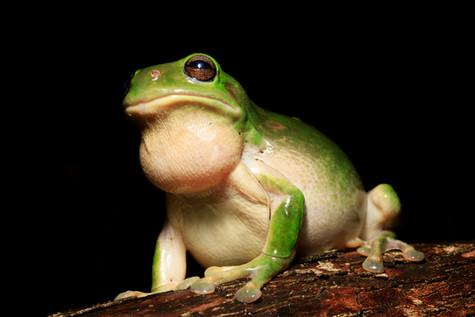 Green Tree Frog male Brisbane, Queensland, Australia