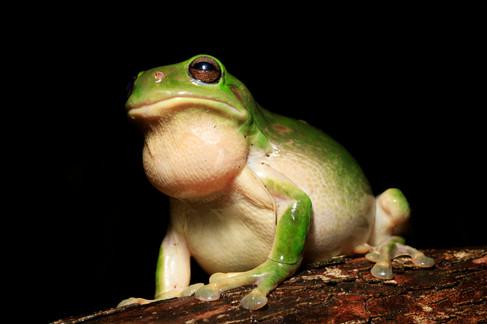 Green Tree Frog (Litoria caerulea) male calling at night Brisbane, Queensland, Australia