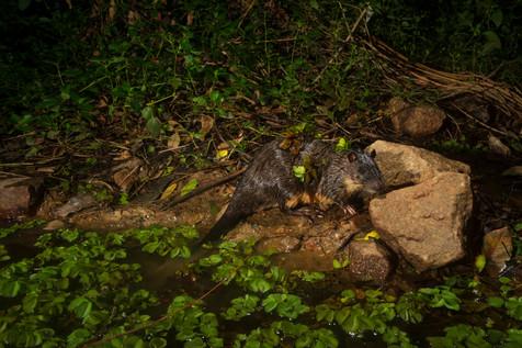 105_Ferny Grove pond camera trap_2505202