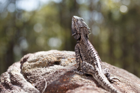 Eastern Bearded Dragon Brisbane, Queensland, Australia