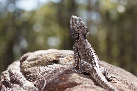Eastern Bearded Dragon Brisbane, Queensland, Australia