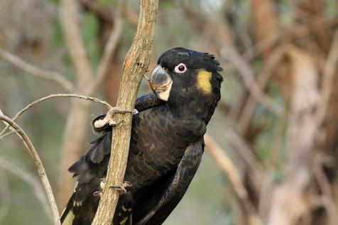 Yellow-Tailed Black Cockatoo Brisbane, Queensland, Australia