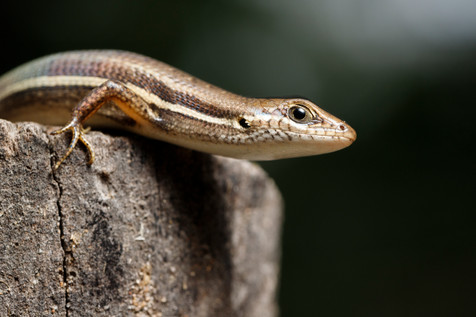 Elegant Rainbow Skink female Townsville, Queensland, Australia