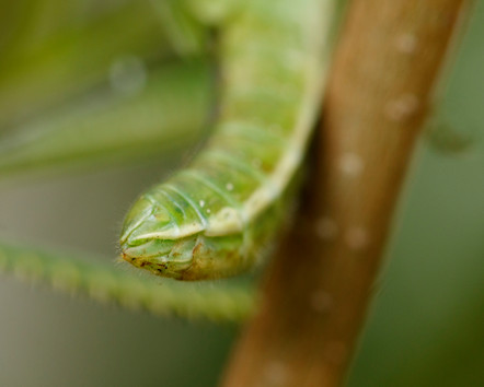 Juvenile Hedge Grasshopper (Valanga irregularis) in suburban garden in Brisbane, Queensland, Australia