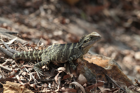 Eastern Water Dragon Brisbane, Queensland, Australia