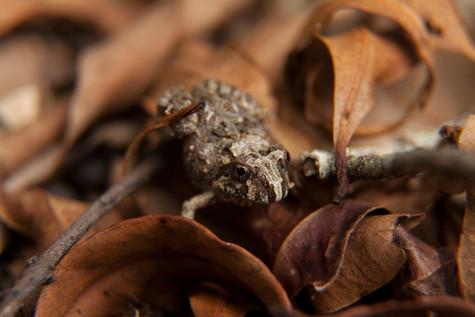 Ornate Burrowing Frog Imbil, Queensland, Australia