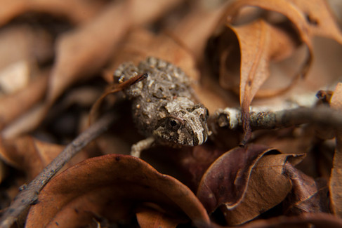 Ornate Burrowing Frog (Platyplectrum ornatum) Imbil, Queensland, Australia