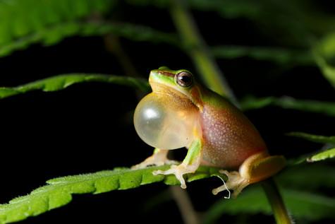Eastern Sedge Frog Brisbane, Queensland, Australia