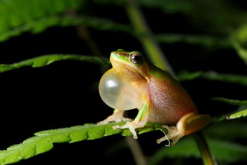Eastern Sedge Frog (Litoria fallax) Brisbane, Queensland, Australia