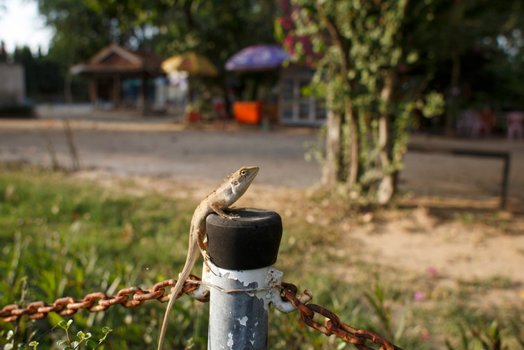 An Oriental Garden Lizard (Calotes versicolor) resting on a pole that separates the main part of the Choeung Ek Genocidal Centre from the commercial stalls for souvenir and food. With so many people during the years 1975-79 and the remaining population that struggled to come to terms with the trauma, much of Cambodia's young population remain detached from and unaware of the nation's violent history.