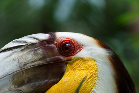 Wreathed Hornbill Koh Kong Province, Cambodia