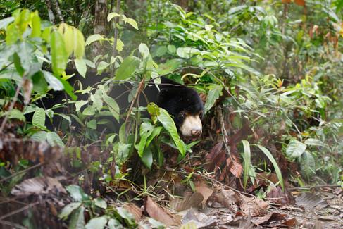 Sun Bear (Helarctos malayanus) Koh Kong Province, Cambodia