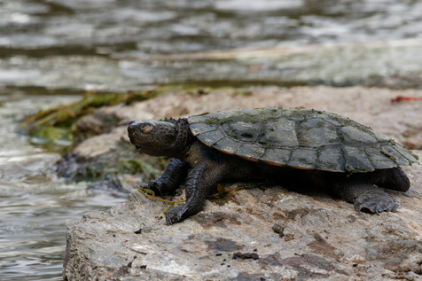 Saw-Shelled Turtle (Myuchelys latisternum) basking on rock beside pond Brisbane, Queensland, Australia