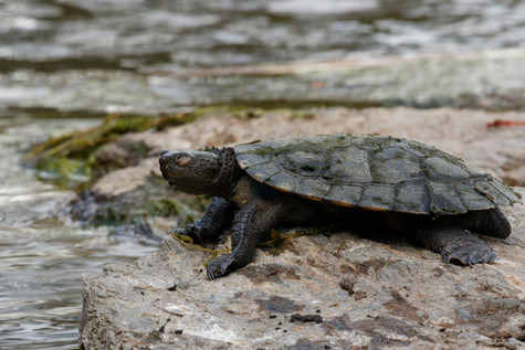 Saw-Shelled Turtle (Myuchelys latisternum) basking on rock beside pond Brisbane, Queensland, Australia