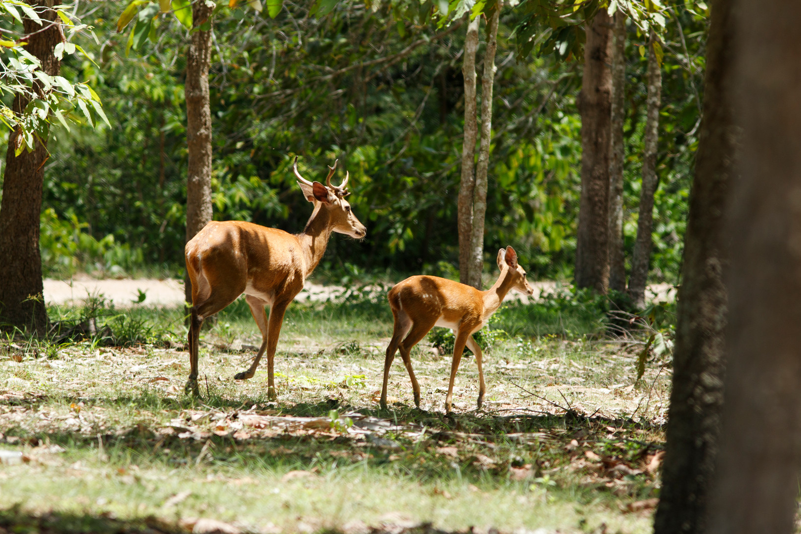 An Eld's deer with fawn rush back to the forest's edge at Phnom Tamao Wildlife Rescue Centre. Numerous animals have been released at the dry forest site.