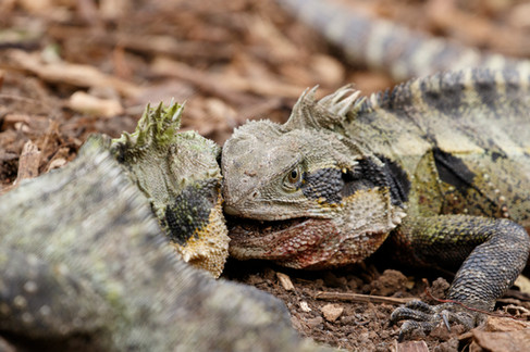 Male Eastern Water Dragons (Intellagama lesueurii) combating during a territorial dispute during the Spring breeding season. Brisbane, Queensland, Australia