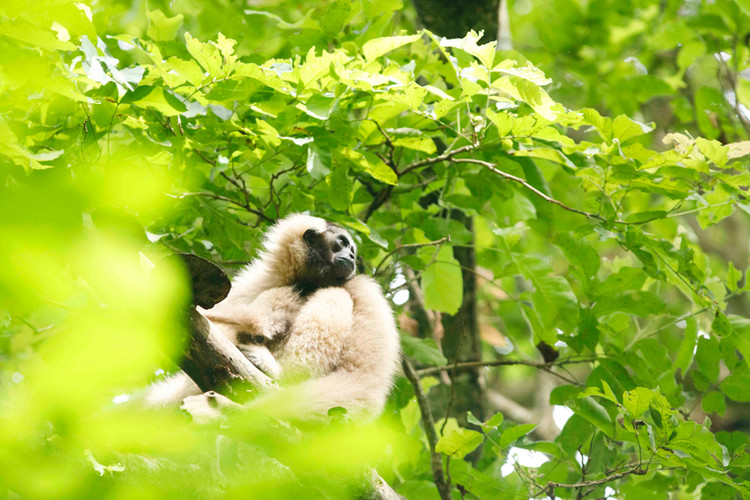 Pileated Gibbon at the Wildlife Alliance-managed Angkor release site. Numerous Gibbons have been released close by the temples outside Siem Reap, with young born to several females in the several years since the project began.