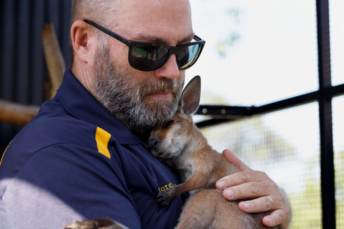 Moreton Bay Koala Rescue member Mike Fowler cradles a juvenile Red-Necked Wallaby (Macropus rufogriseus) he has in care. Brisbane, Queensland 2019.